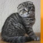 Куплю шотландского вислоухого котенка.  Старый Оскол.  28 февраля 17:11.