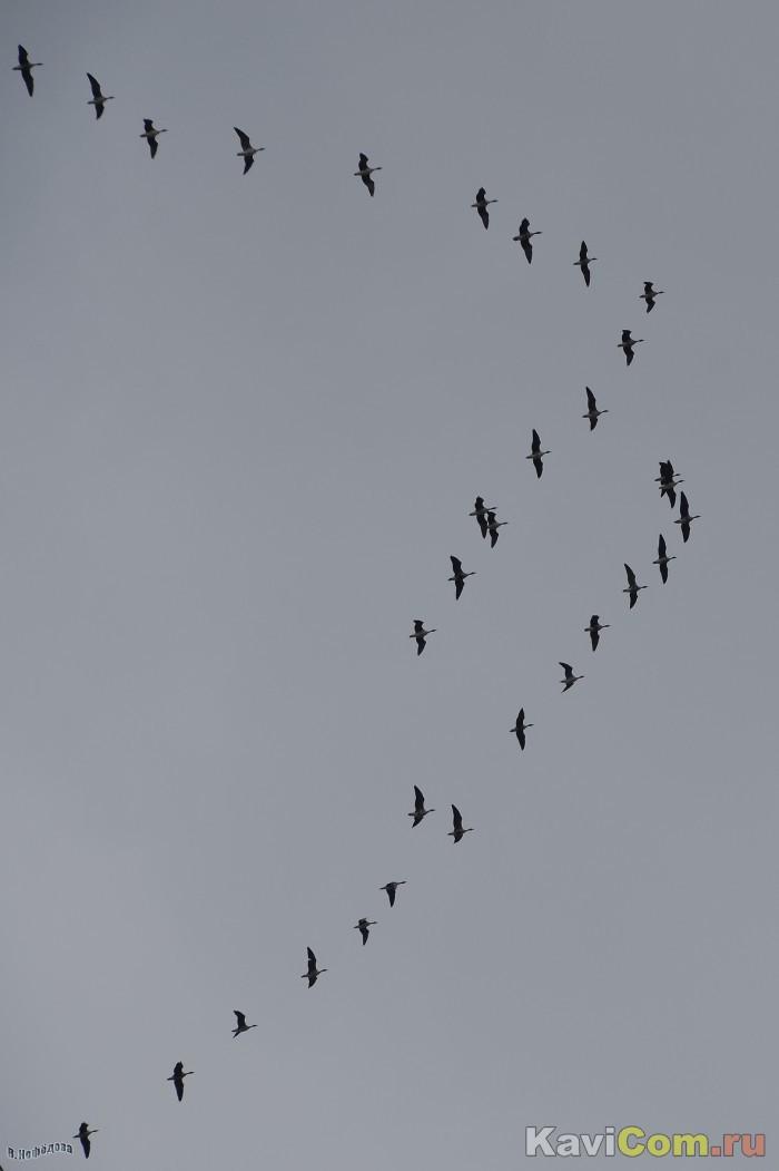 На большой высоте - гуси!