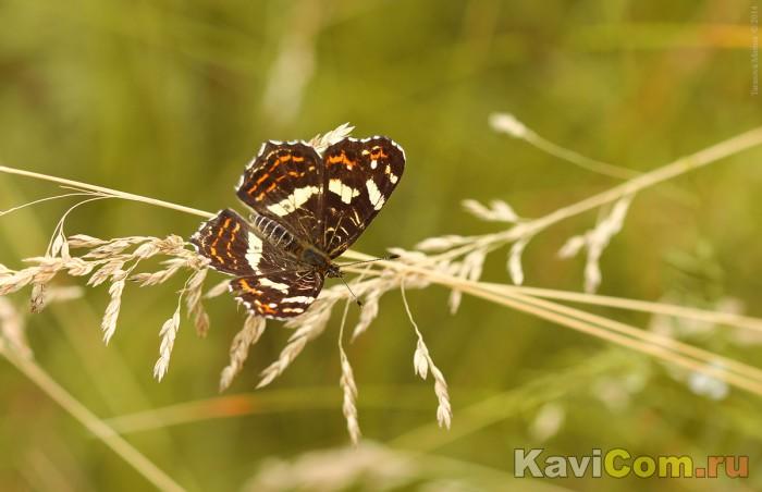 Отдых бабочки