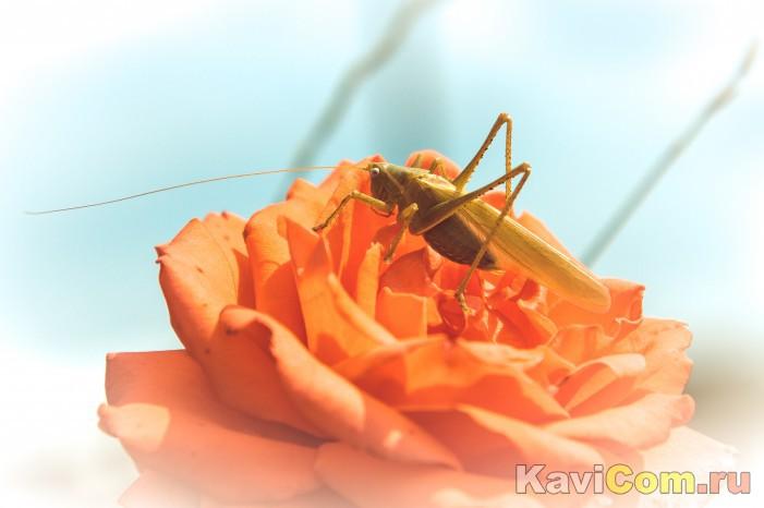 Любитель роз