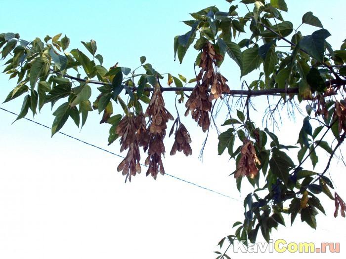 Осенний клён.