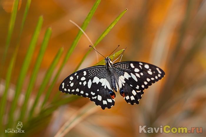 Бабочка красивешна