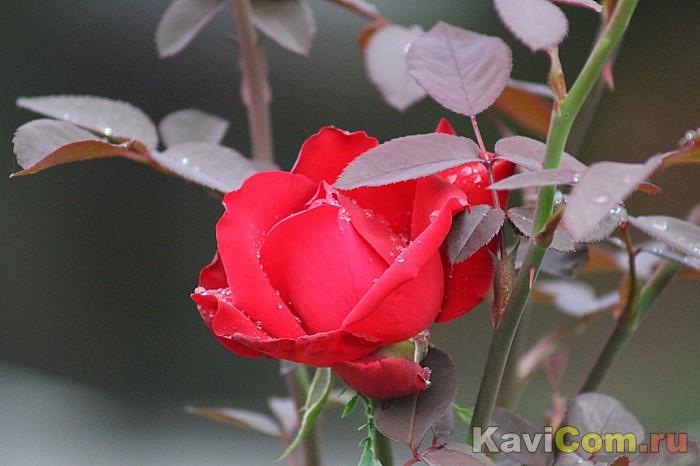 Розы в сентябре...