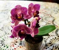 Орхидея фаленопсис мини микс.