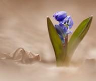 Улыбкой светится цветочек голубой