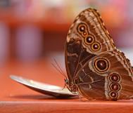 Бабочка морфо лакомится мёдом
