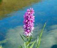 Одинокий цветок на берегу