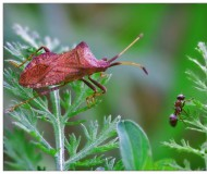 Клоп и муравей