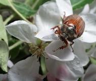 Яблоневый жук.