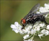 Красноглазый мух