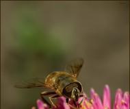 Пчеловидка.