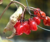 Горькой калины ягоды...