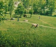 Верблюды в Осколе