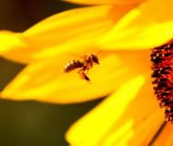 Пчелка Майя.....труженица