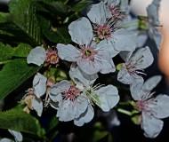 Цветы вишни на закате
