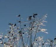 Зима, грачи прилетели