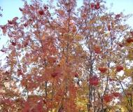 Осенняя рябина