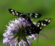 Парочка бабочек