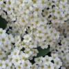 Цветки живой изгороди(макро).