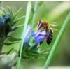Сентябрьская пчёлка