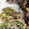 Березовые грибы