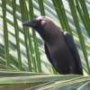 Чёрный ворон.