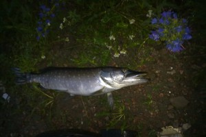 27 июня 2011 года,  п. Сорокино. Рыбхозы убивают рыбу в реках???