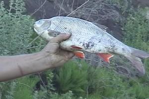Рыбное дежавю