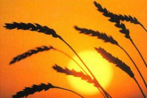 В 2012 году области придётся импортировать около миллиона тонн зерна