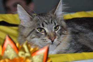 Международная выставка кошек клуба «Императорский Раунд»