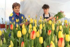 Жёлтые тюльпаны — вестники весны