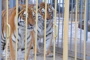 Тигры будут сыты и довольны