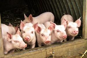 В развитие свиноводства в Белгородской области до 2015 года направят 11,4 миллиарда рублей