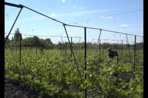 Виноградарство в Старом Осколе