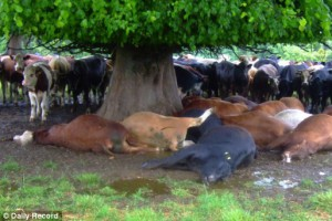 В Прохоровском районе молния убила 32 коровы