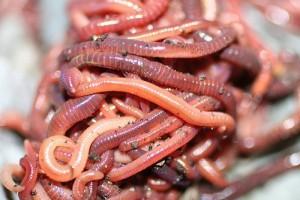 Томские ученые в рамках импортозамещения предлагают россиянам есть червей