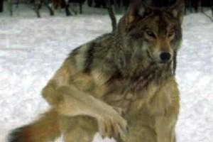 Волк-оборотень и медвежья болезнь.