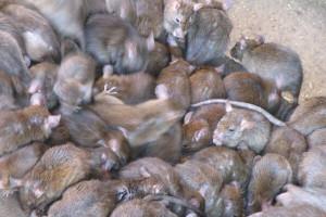 В Старом Осколе ТСЖ оштрафовали на 20 000 рублей за расплодившихся крыс
