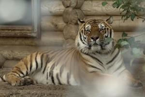 Старооскольские тигры под опекой Металлоинвеста