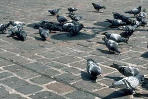 Люди и голуби: кто больше гадит?