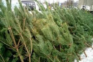 Купить елку в Старом Осколе можно будет с 17 декабря