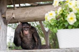 В старооскольском зоопарке пополнение — к шимпанзе Петюне приехала невеста