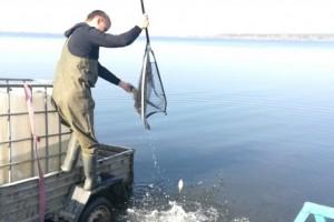 Около семи тысяч штук малька белого амура и толстолобика выпустили в Старооскольское водохранилище