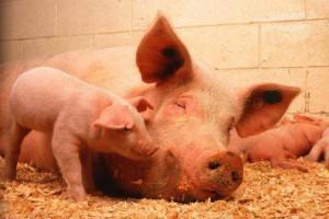 Евгений Савченко поставил задачу изъять свиней из личных хозяйств.